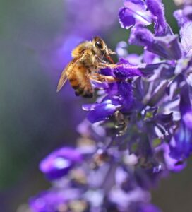 bee, insect, sage