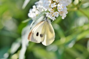 white ling, butterfly, insect